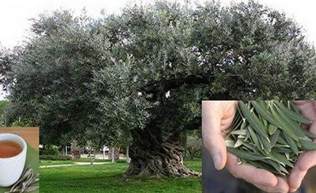 La foglia di questa pianta è perfetta per prevenire ictus, diabete, ipertensione ed Alzheimer… Ti spieghiamo come usarla