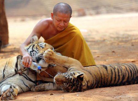 40 cuccioli di tigre trovati morti in un freezer in Thailanda nel Tiger Temple dei monaci Tibetani