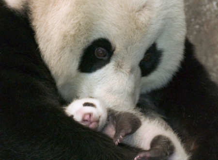 Il panda non è più un animale a rischio estinzione grazie alla mobilitazione globale