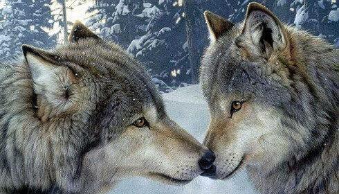 Il lupo può cambiare l'ambiente e l'ecosistema in cui vive