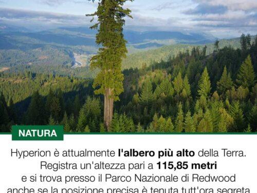 Hyperion, l'albero più alto della terra